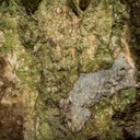 New lichen species for Germany!